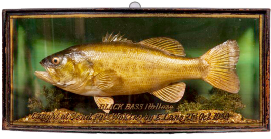 Taxidermy Rare Black Bass