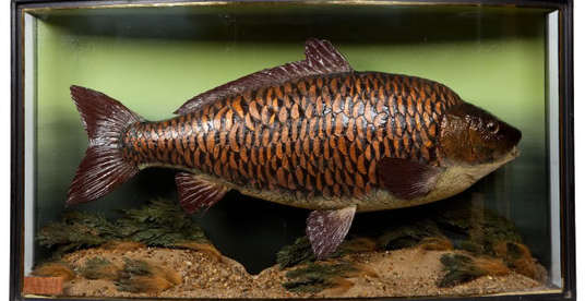 Taxidermy fully scaled mirror carp