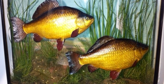 Taxidermy Very Rare Pair of Crucian Carp
