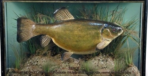 Taxidermy Very Rare Tench British Isles Record