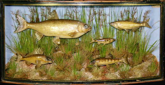 Taxidermy Very Rare case of minnow
