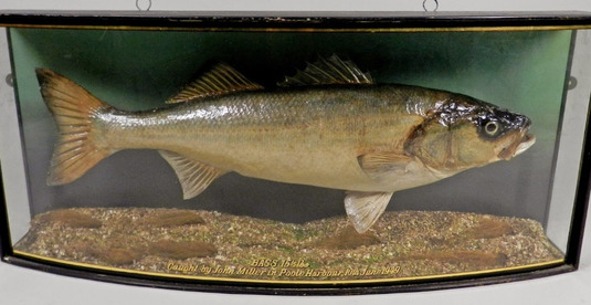 Taxidermy Very Sea Bass
